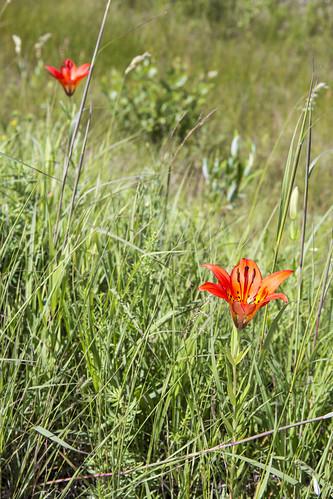 canada flower manitoba liliumphiladelphicum woodlily prairielily stuartburn manitobatallgrassprairiepreserve