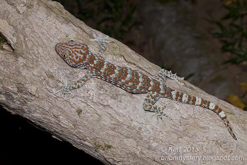 Tokay Gecko - Gekko gecko_MG_0940 copy