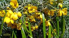 Arizona Feathery Cassia ~ Senna Artemisioides