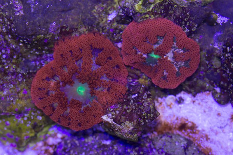 Bali Red Mini Carpet Anemones And Show Piece Corals Bay