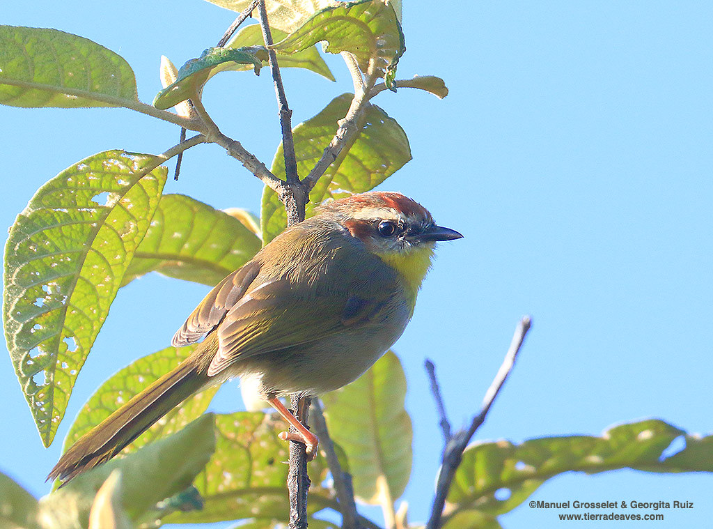 Rufous-capped-Warbler-Mexcio-DF-PECM7406