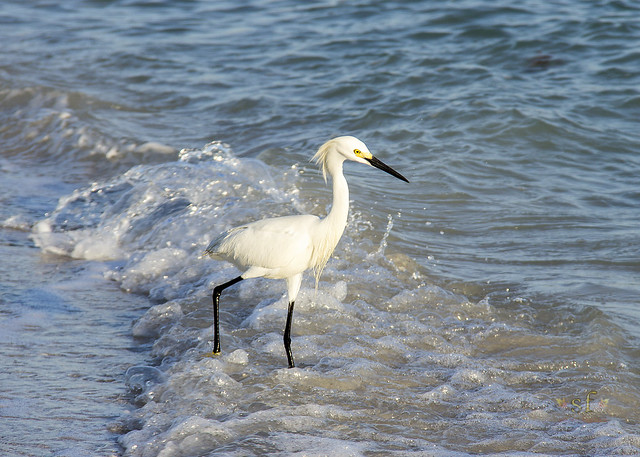 In the Moment -- a White Snowy Egret