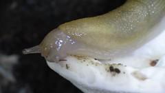 Slug eating a mushroom