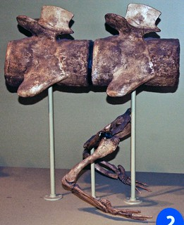 Basilosaurus sp. (fossil whale) (Eocene; Egypt) 3