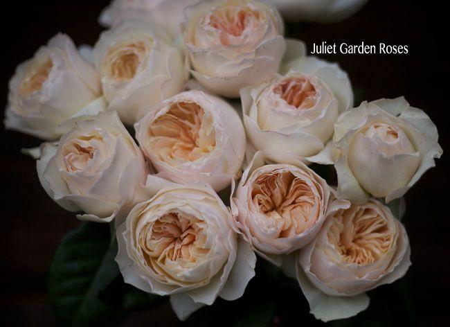 Juliet_Garden_Peach_Roses