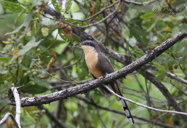 coulicou manioc / mangrove cuckoo / Coccyzus minor