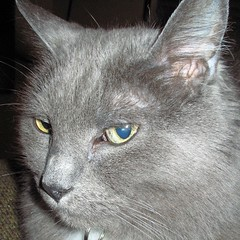 nose, animal, british shorthair, british semi-longhair, small to medium-sized cats, pet, chartreux, close-up, cat, carnivoran, whiskers, russian blue, domestic short-haired cat,