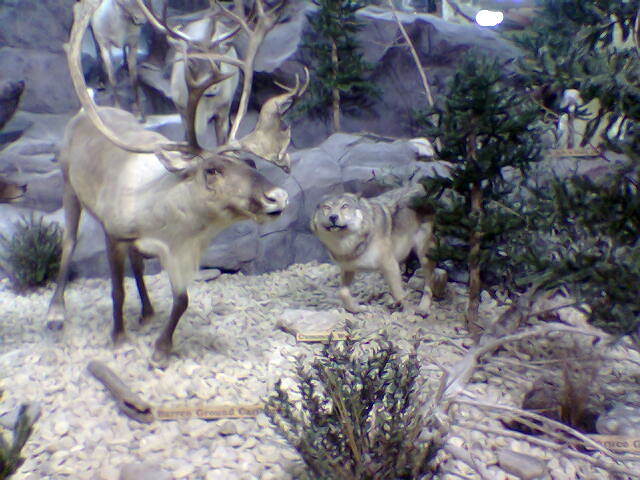Reindeer and Wolf | Flickr - Photo Sharing!