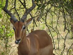 kudu(0.0), bongo(0.0), animal(1.0), antelope(1.0), mammal(1.0), horn(1.0), fauna(1.0), impala(1.0), safari(1.0), wildlife(1.0),