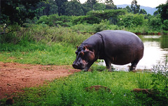 water buffalo(0.0), indian elephant(0.0), grazing(0.0), animal(1.0), hippopotamus(1.0), fauna(1.0), jungle(1.0), pasture(1.0), safari(1.0), wildlife(1.0),