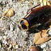 Australian cockroach - Photo (c) Sean McCann, some rights reserved (CC BY-NC-SA)