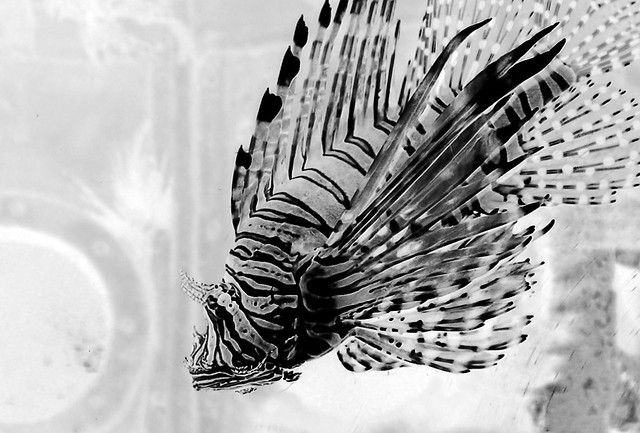 Lionfish inverted 1 flickr photo sharing for Inverted fish tank