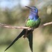 Beija-flor Tesoura (Eupetomena macroura) - Swallow-tailed Hummingbird 15 155 - 11