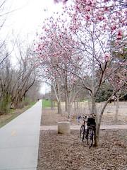 Bike Path with Magnolias