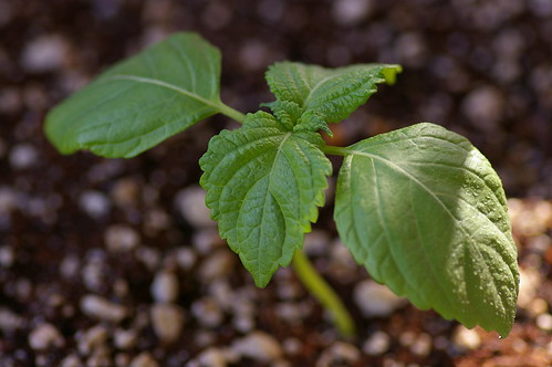 Shiso 'Green Day'
