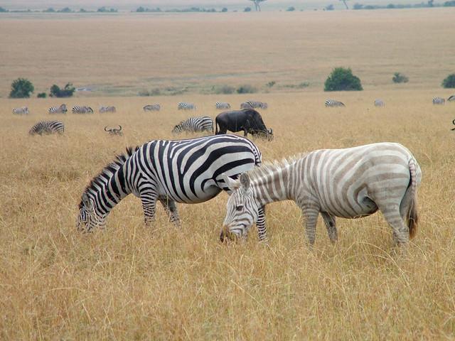 Albino Zebra, Kenya