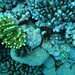 Coral, North Horn, Coral Sea Great Barrier Reef, Australia_1.jpg