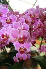blossom(0.0), cattleya labiata(0.0), cattleya trianae(0.0), floristry(0.0), flower(1.0), purple(1.0), plant(1.0), lilac(1.0), phalaenopsis equestris(1.0), flora(1.0), moth orchid(1.0), petal(1.0),