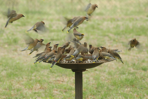 A gathering of...waxwings.