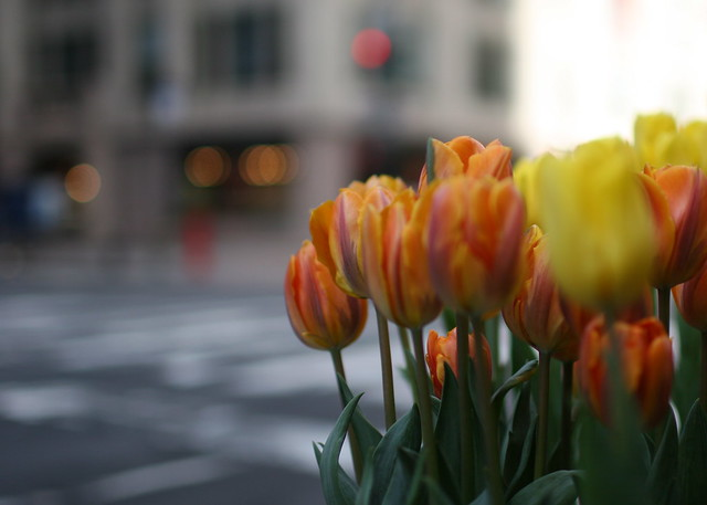 Tulips on 5th Avenue