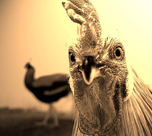 Hen Pecked ..*In UR face!