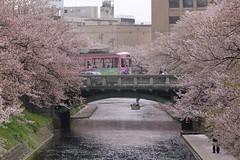 tram and cherryblossom 060419