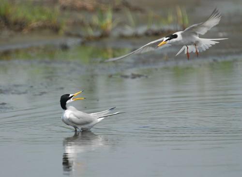 在漢寶濕地生活的小燕鷗,彰化海岸保育行動聯盟拍攝