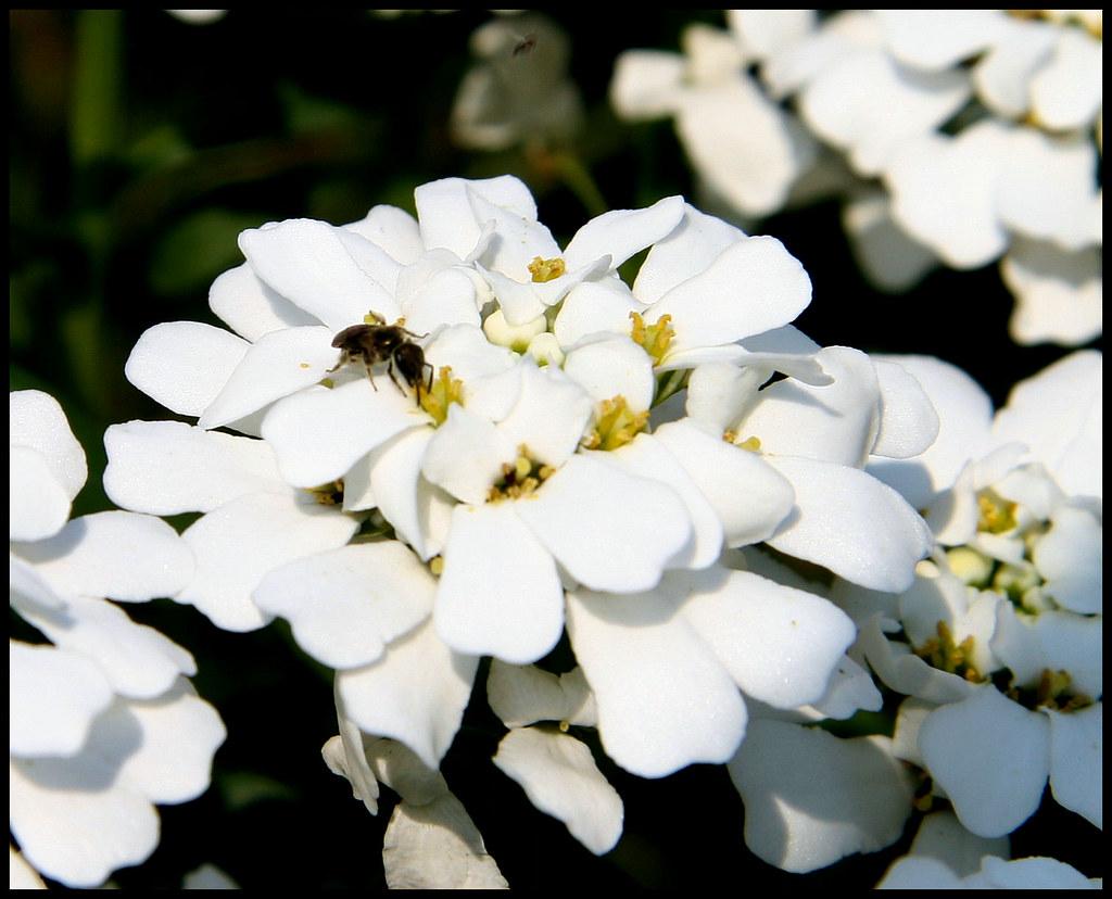 iberis with ant