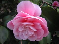 rosa 㗠centifolia(0.0), floribunda(0.0), shrub(1.0), camellia sasanqua(1.0), flower(1.0), plant(1.0), camellia japonica(1.0), theaceae(1.0), pink(1.0), petal(1.0),