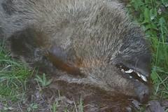 raccoon(0.0), wombat(0.0), animal(1.0), mammal(1.0), fauna(1.0), procyonidae(1.0), wildlife(1.0),