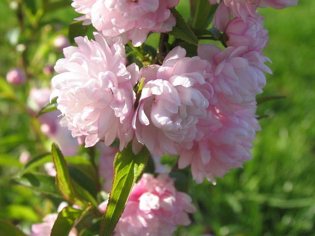 Pink Flowering Almond Bush | Flickr - Photo Sharing!