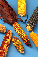 sweet corn, orange, yellow, maize, corn on the cob, produce, food,