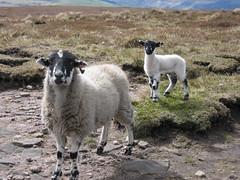 Keen sheep