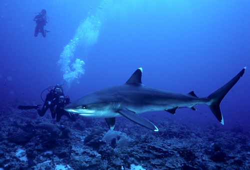 Silvertip Shark with Divers