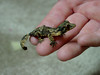 "<a href=""http://www.flickr.com/photos/bsmith4815/140700914/"">Photo of Uroplatus henkeli by B Smith</a>"