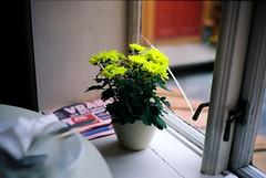 Blomst på Dromedar  (bakklandet)