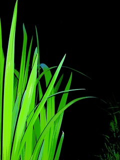 Green Iris at the Night