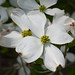 Flowering Dogwood - Photo (c) Eric in SF, some rights reserved (CC BY-NC-ND)