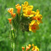 common fiddleneck - Photo (c) Dawn Endico, some rights reserved (CC BY-SA)