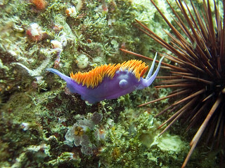 Spanish Shawl Nudibranch and Red Sea Urchin