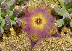 Stapelia hirsuta flower