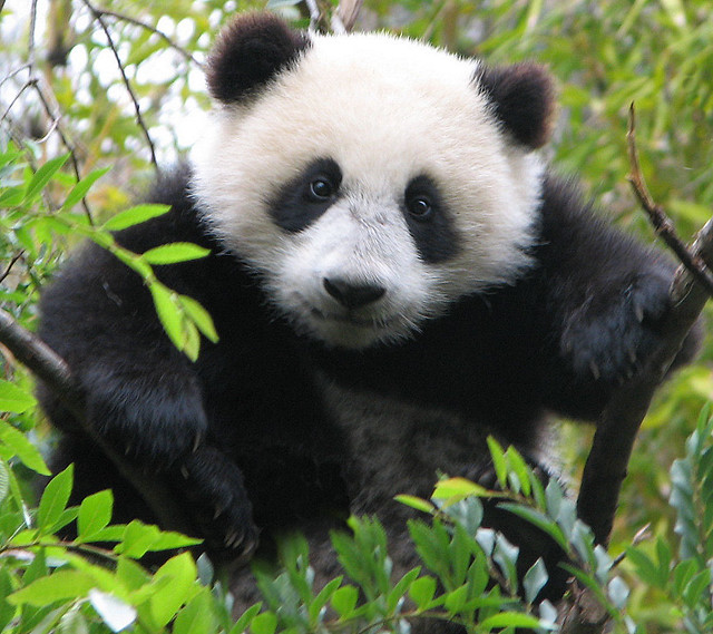Legendary Panda Cub tree climber, Su Lin.