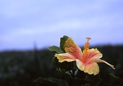 波照間の花