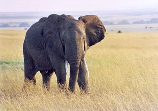 Kenya_Masai Mara Elephant