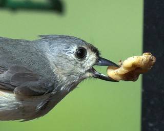 More Than a Mouth Full--Tufted Titmouse