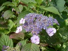 lantana camara(0.0), annual plant(1.0), shrub(1.0), flower(1.0), hydrangea serrata(1.0), plant(1.0), lilac(1.0), hydrangeaceae(1.0),
