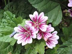 annual plant(1.0), flower(1.0), plant(1.0), malva(1.0), wildflower(1.0), flora(1.0), petal(1.0),