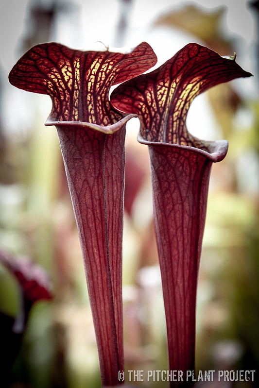 Sarracenia 'Black Widow'