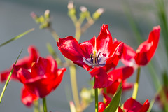 Poppy Flowers - Photo of Villebaudon