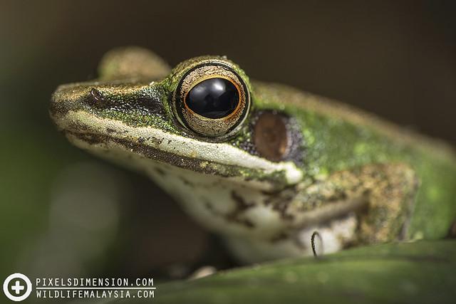 White-Lipped Frog- Hylarana cf. labialis